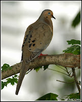 dove on tree mourning