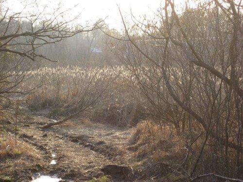 [Atlantic+swamp+cattails_1_1.JPG]