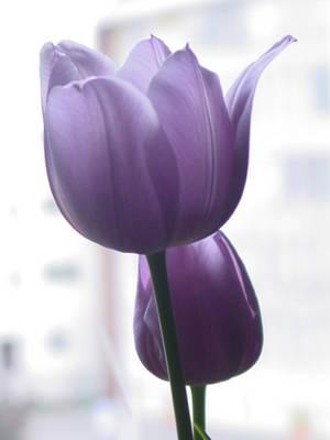 Lavender Color Wallpaper Hd Entornos Turqu 237 A Y Sus Huellas Turqu 237 A Tulip 225 N
