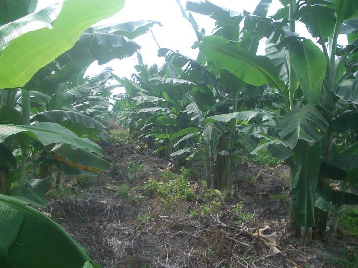 Pokok Pisang Yang Ditanam Pada Bulan Januari Telah Tumbuh Dengan Segar