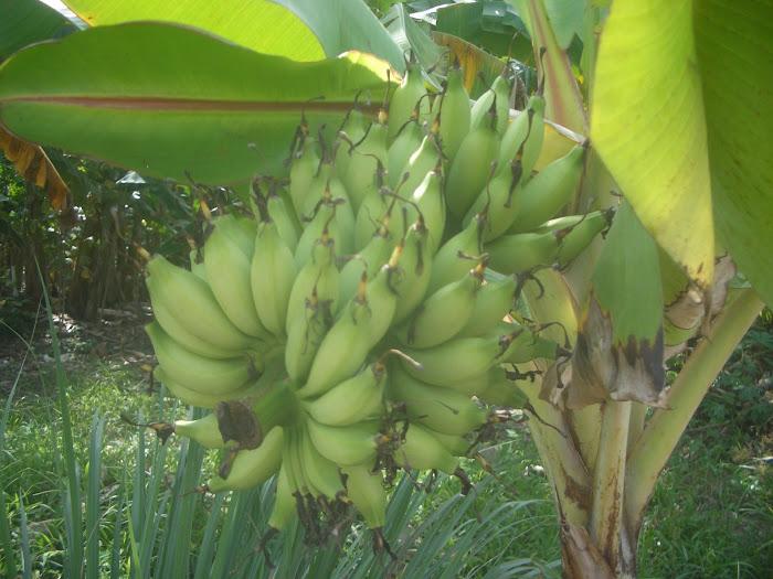 40 days banana  ( Pisang Lemak Manis / Pisang 40 Hari  )