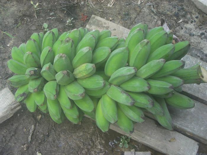 Harvested banana  ( Buah Sudah Di Petik )