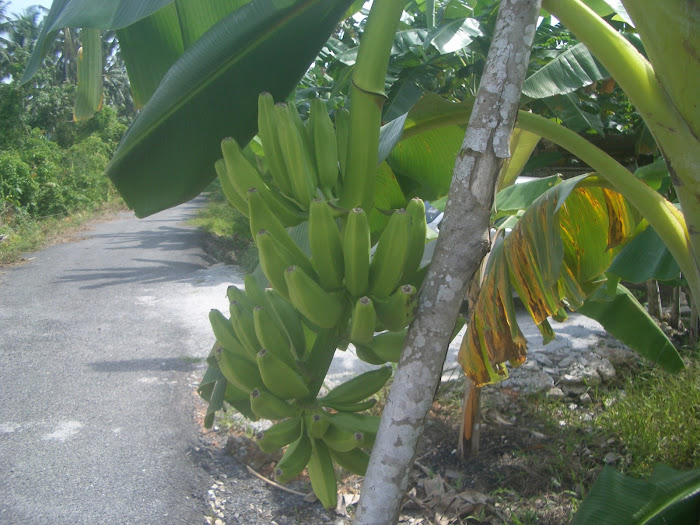 Banana clusters supported by a stic ( Pisang Bertongkat )
