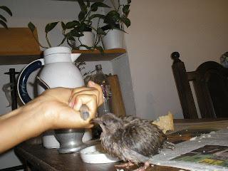 Como alimentar un pajarito recien nacido