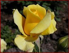 A minha flor e cor preferida