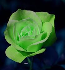 A Cor rosa da Esperança