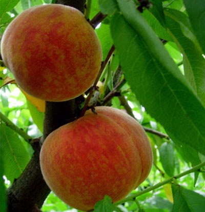 The Great Outdoors Newsletter Fruit Trees For Austin