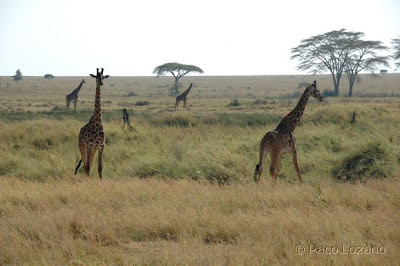 Giraffes in the Endless Plains