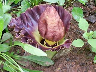 amorphophallus paeonifolius