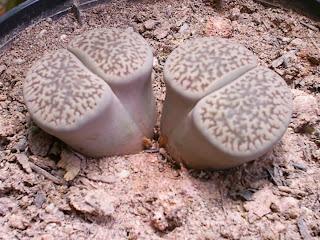 Lithops planta pedra