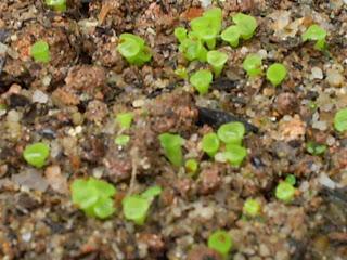 sementeira Lithops