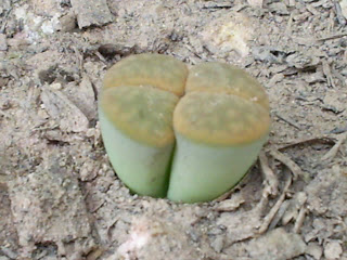 Lithops sementes