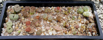 Lithops decoracao