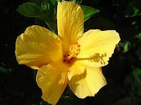 flor amarilla pacífico