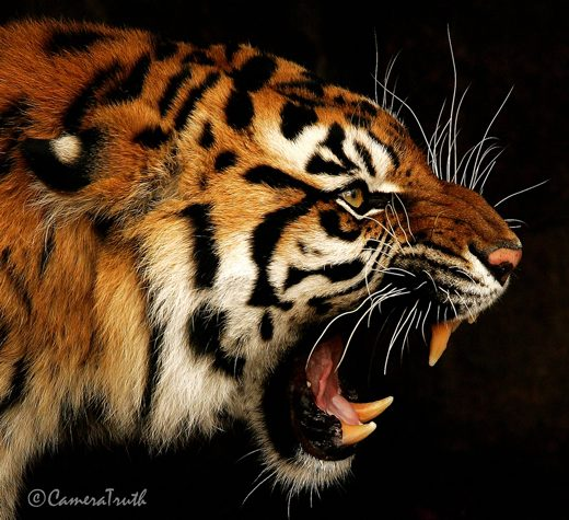 Roaring Tiger Side View - photo#13