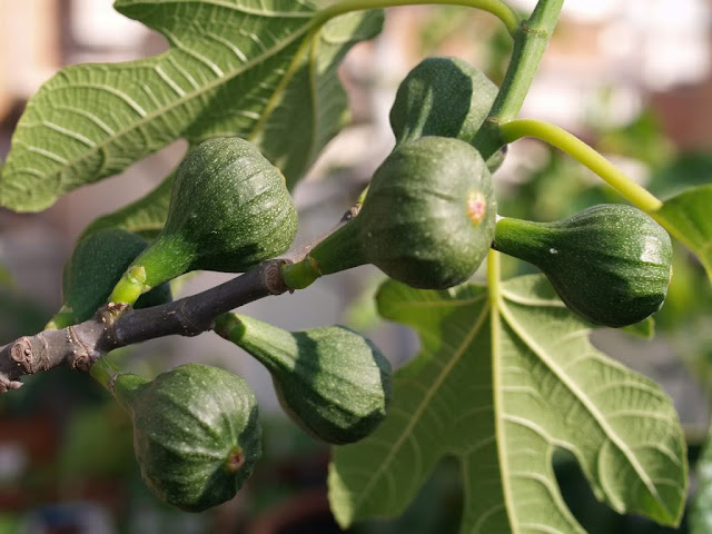 Can I Eat Figs While Breastfeeding