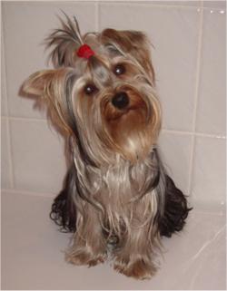 Amigo Do Cao Amigo Conhecendo As Racas Yorkshire Terrier