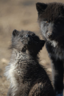, National Wolf Awareness Week