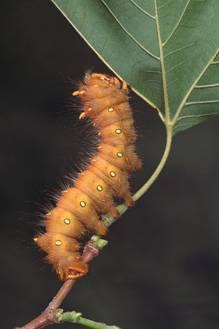 [Caterpillar]