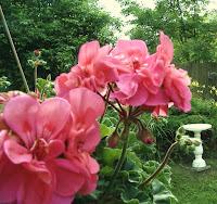 Cottage Remnant Geraniums