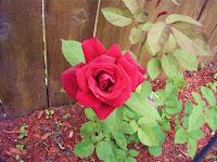 Cottage Remnant Red Rose