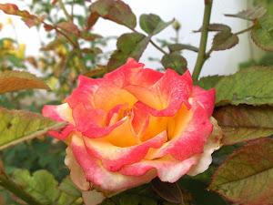 Rosa (color naranja)