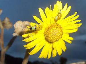 Mariquitas (amarillas)
