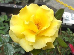 Rosa (amarilla)