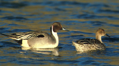 [Northern pintail pair; detail of FWS image]