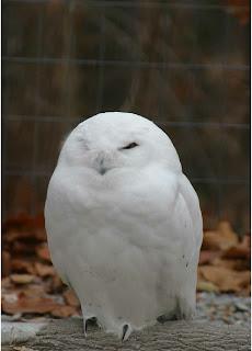 One Click Loan >> World Bird Sanctuary: Adopt-a-bird spotlight: Ookpik (Snowy Owl)