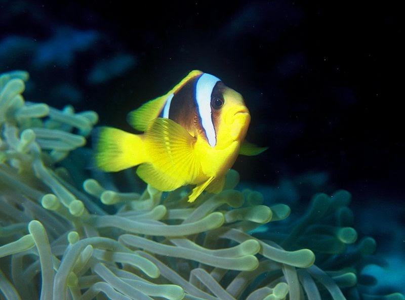 black and yellow clown fish