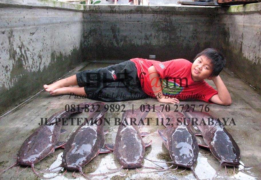 Budidaya Ikan Lele Sangkuriang Dan Ternak Lele Terbesar Di Surabaya Jual Bibit Ikan Lele Sangkuriang Surabaya Murah Budidaya Sejak 1991 Buktikan