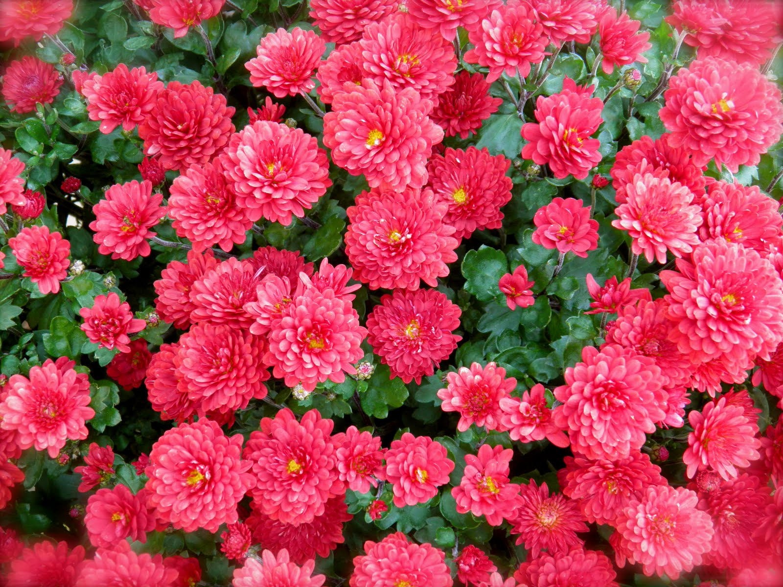 Dougphoto Blog Red Chrysanthemum