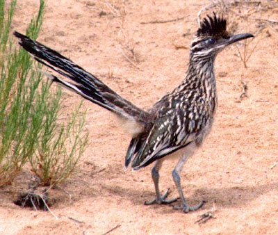 New Mexico Roadrunner Bird Pictures | State Birds