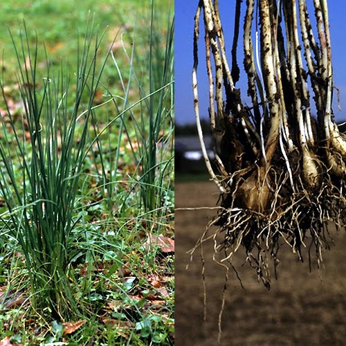 Wild Onions Collecting Gathering And Recipe Inspiration