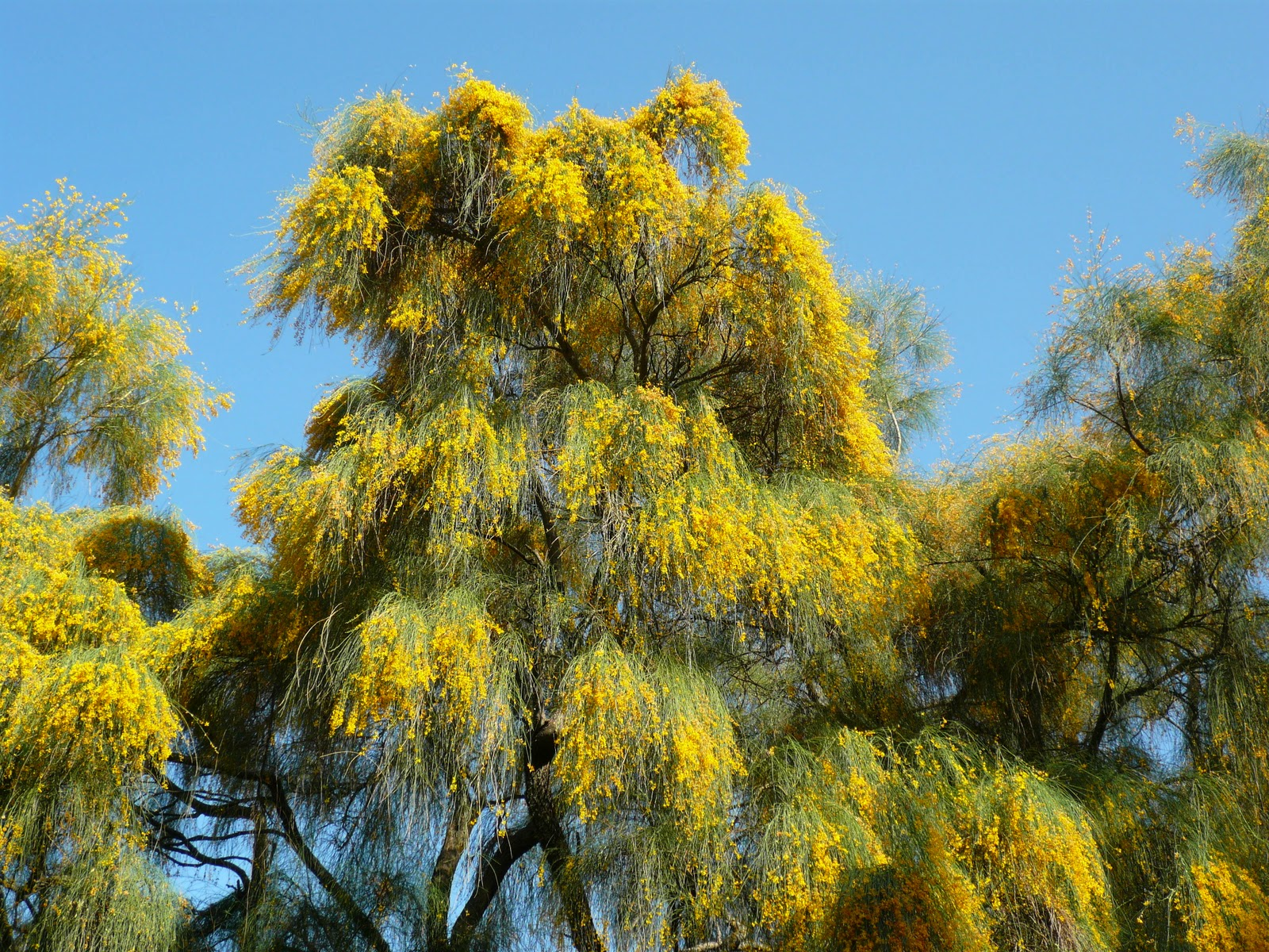 Giardini in gallura alberi fioriti per l 39 estate genista for Alberi fioriti da giardino