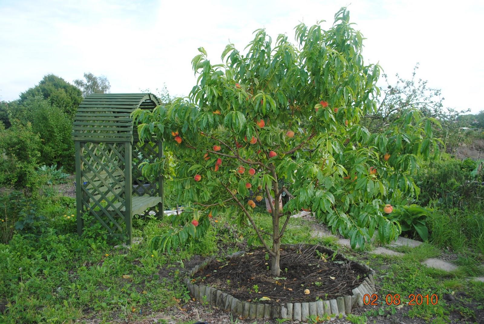 Questioner's Garden Time: Peach Harvest. Avalon Pride