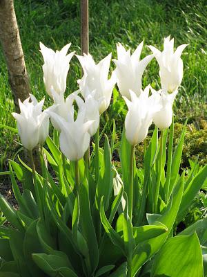 Le Jardin De Verone Tulipe Blanche Fleur De Lys