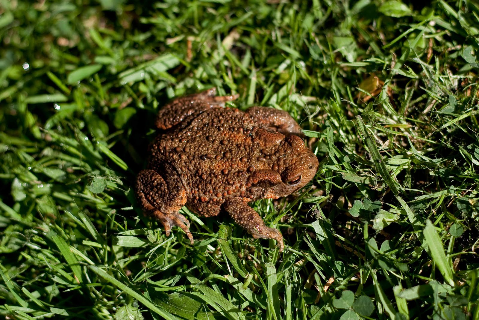 Tameside Citizen Frog Or Toad