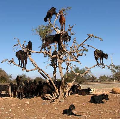Freaky Tree Climbing Goats