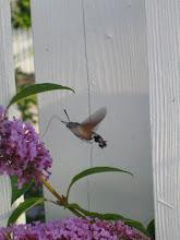 Fint besök vid fjärilsbusken