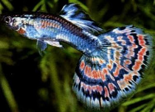 Fresh Water Aquarium Fish Types Of Freshwater Aquarium Fish