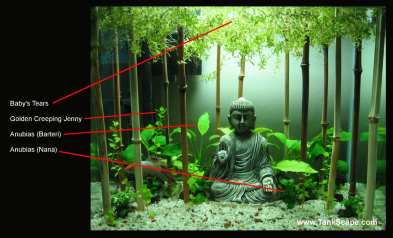 Tank Scape: My Planted Buddha Betta Tank