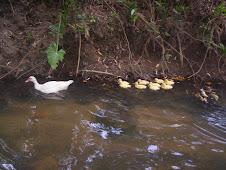 Criando patos