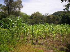 Cultivando nuestro maíz criollo