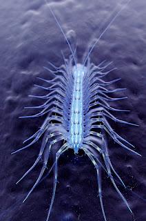 Wild+Centipede Terrifying Wild Centipede..