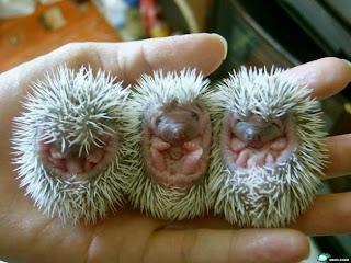 Newborn+Porcupine Newborn Porcupine!!