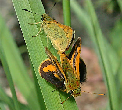 Mating Yellow-banded Darts