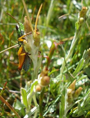Grasshopper_Baw Baw