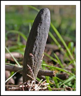 Cordyceps gunnii